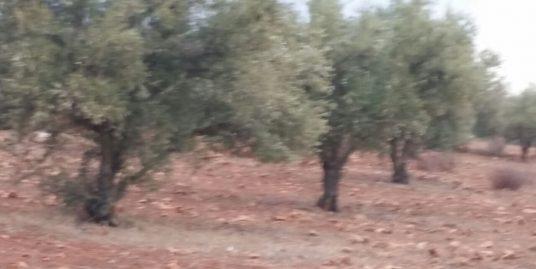 Terrain oliveraie à vendre avec bon prix